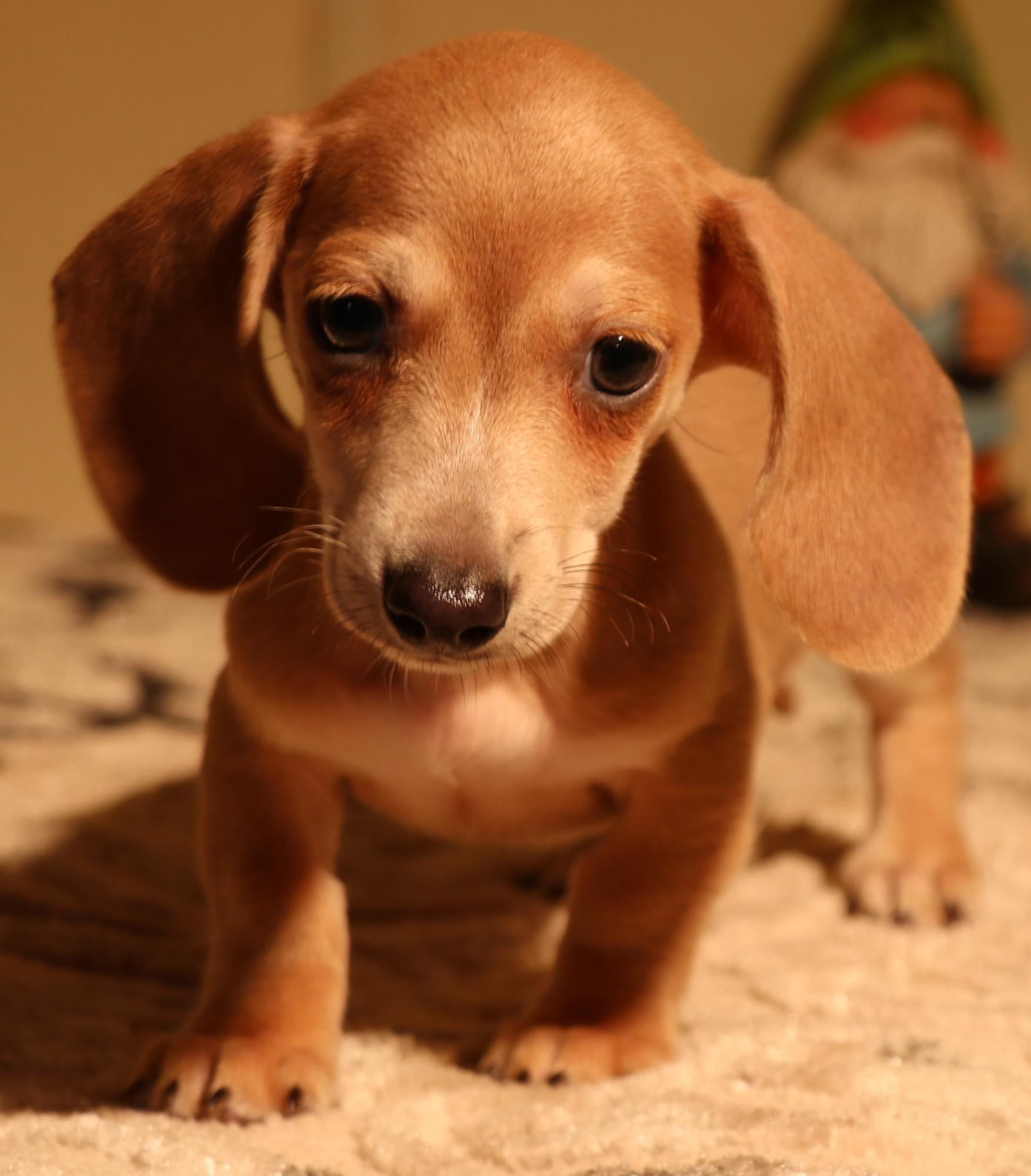Miniature Dachshund Puppies For Sale In Austin Co