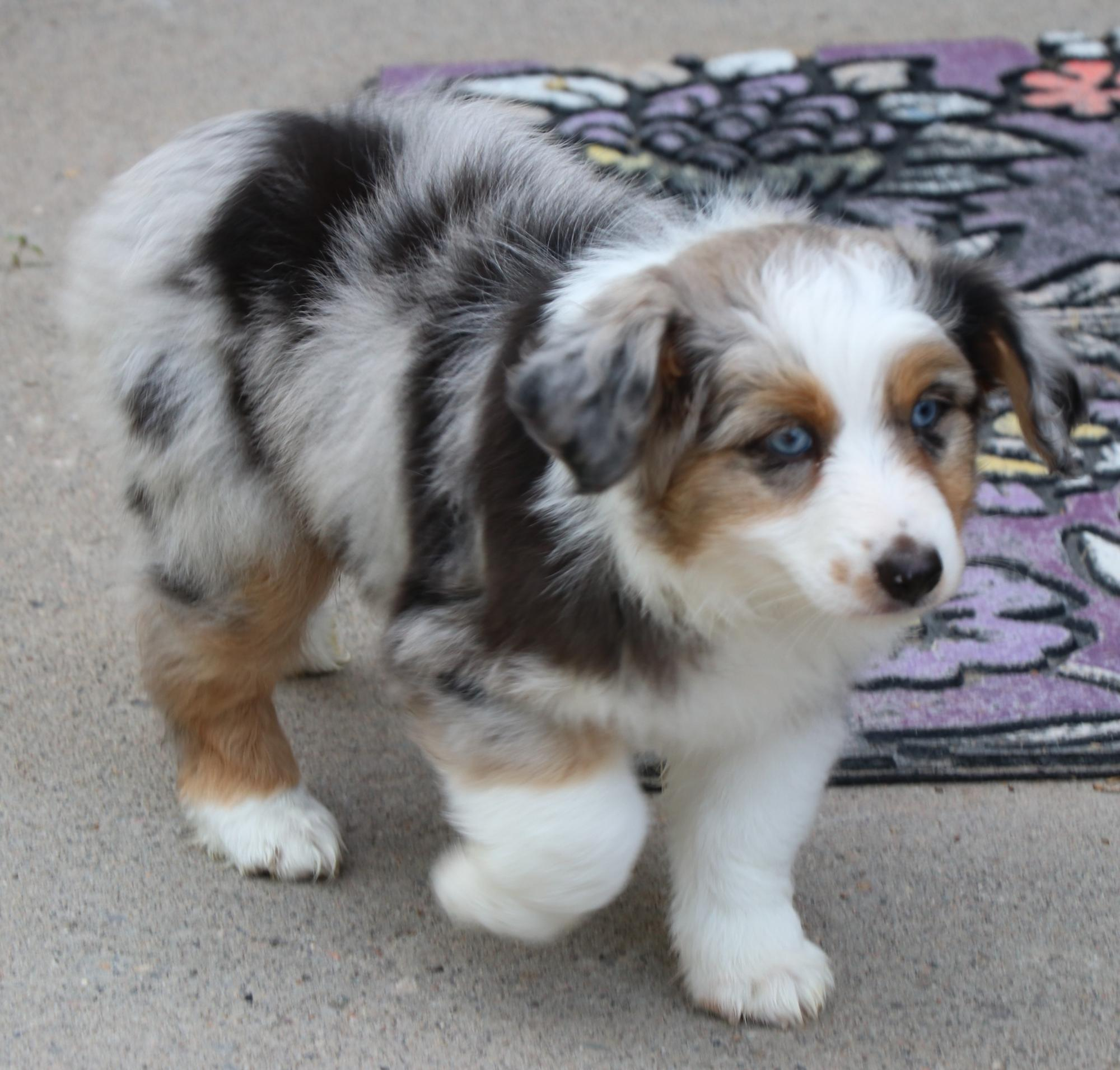 Toy Australian Shepherd puppies for sale in CO, Toy Aussie