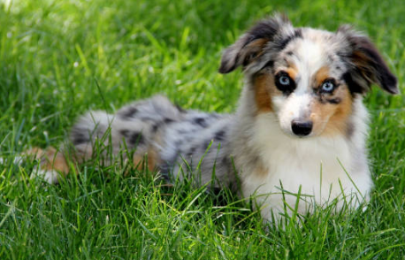Toy Australian Shepherd Puppies For Sale In Co Toy Aussie Puppies